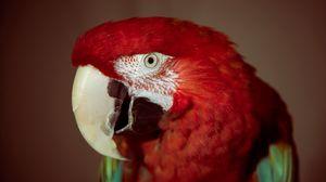 Превью обои попугай, красный, красный попугай, клюв