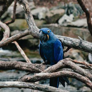 Превью обои попугай, синий, птица