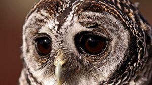 Превью обои птица, неясыть, грустный взгляд, сова, глаза