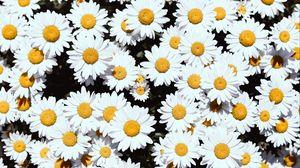 Превью обои ромашки, цветы, белый, цветение, растения