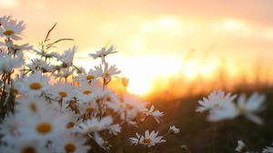 Превью обои ромашки, цветы, размытость