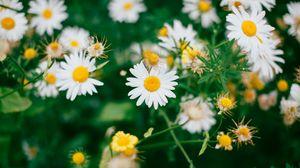 Превью обои ромашки, цветы, цветение, полевой, размытость