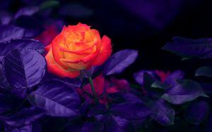 Превью обои роза, бутон, оранжевый, фиолетовый