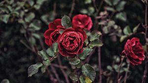 Превью обои роза, капли, бутон, куст, размытость
