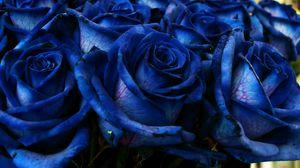 Превью обои роза, синий, букет, бутоны