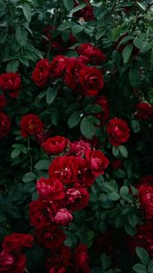Превью обои розы, куст, сад, садовый, бутон, красный, цветение, листья