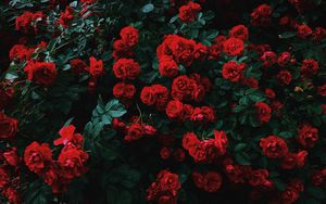 Превью обои розы, куст, цветение, сад, садовый, красный, контраст