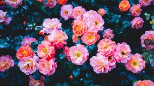 Превью обои розы, цветы, розовый, цветение, куст