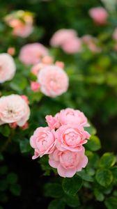 Превью обои розы, цветы, розовый, растение, куст