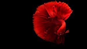 Превью обои рыба, красный, хвост