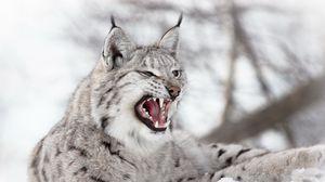 Превью обои рысь, хищник, снег, агрессия
