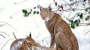 Превью обои рысь, пара, снег, хищники