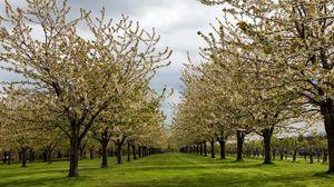 Превью обои сад, деревья, весна, цветение, плантация, трава, солнечно, культура