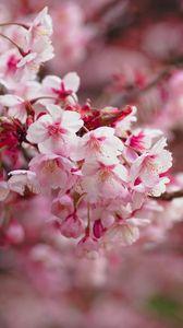 Превью обои сакура, цветение, ветка, цветы, размытость