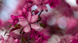 Превью обои сакура, цветы, розовый, цветение, ветка