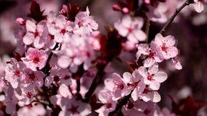 Превью обои сакура, цветы, лепестки, розовый