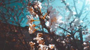 Превью обои сакура, цветы, макро, белый, цветение