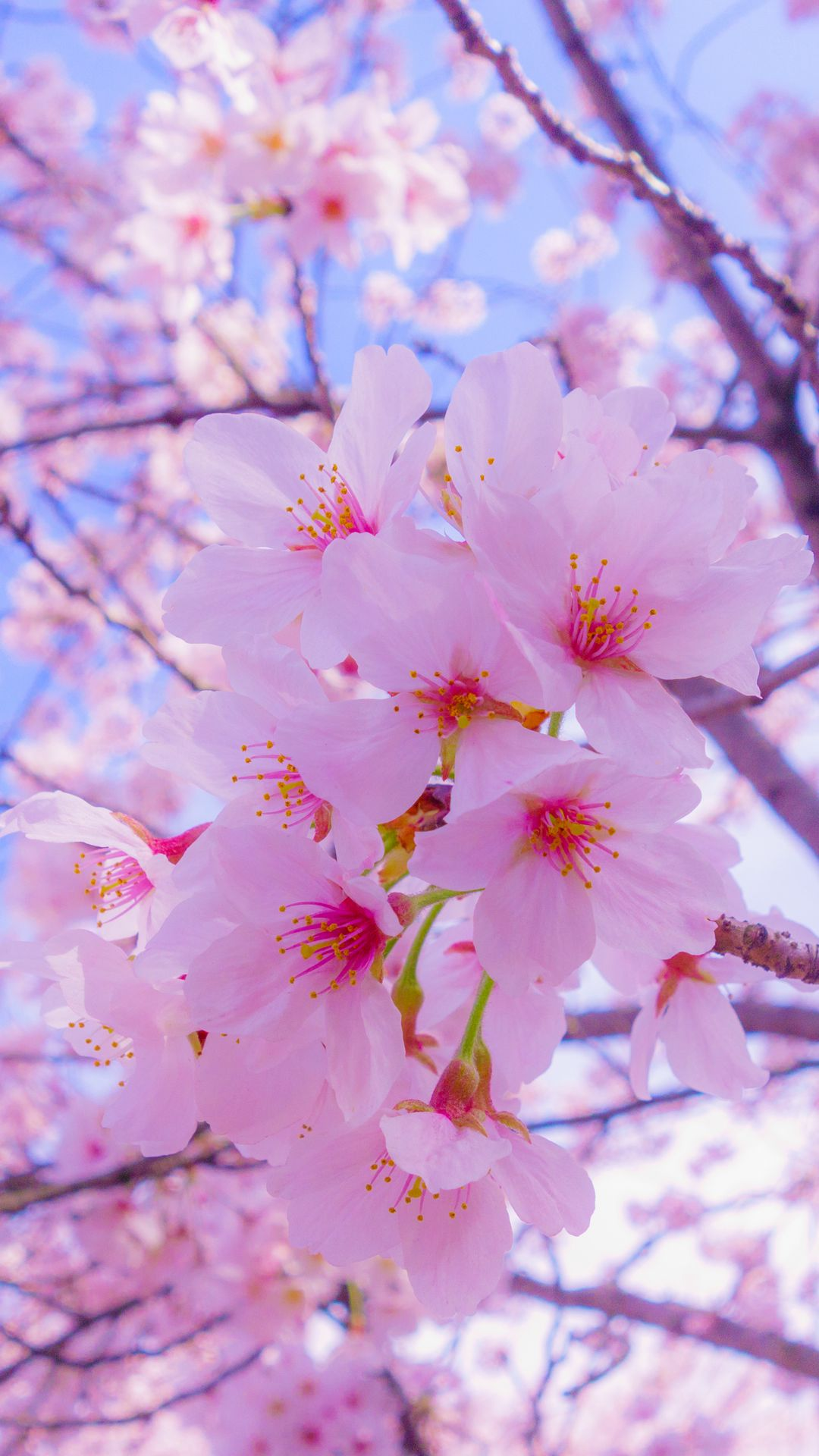 1080x1920 Обои сакура, цветы, цветение, весна, розовый