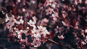 Превью обои сакура, цветы, ветки, цветение, дерево, вишня