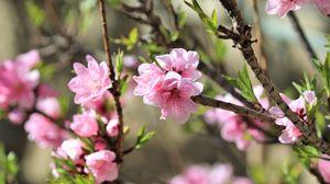 Превью обои сакура, цветы, ветки, весна