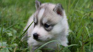 Превью обои щенок, хаска, трава, сидеть