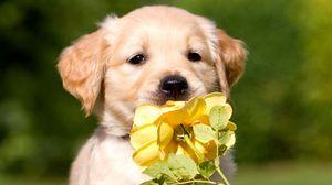 Превью обои щенок, морда, цветок