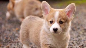 Превью обои щенок, морда, взгляд, трава, уши
