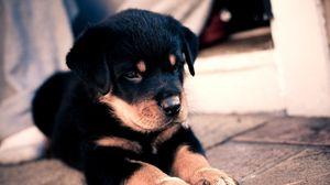 Превью обои щенок, ротвейлер, милый, малыш