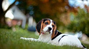 Превью обои щенок, трава, лежать, окрас