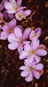 Превью обои шафран, крокус, цветок, цветущий, сад, розовый