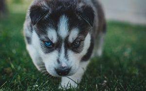 Превью обои щенок, хаски, собака, милый, гетерохромия