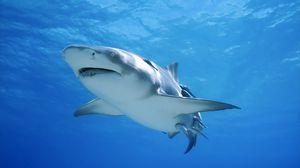 Превью обои акула, плавать, море, океан, хищник