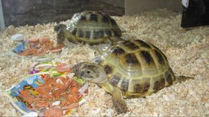 Превью обои аквариум, черепахи, пара, еда, опилки