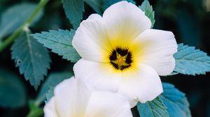Превью обои анютины глазки, цветы, белый, растение