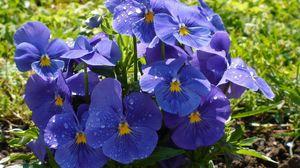 Превью обои анютины глазки, цветы, клумба, капли, свежесть, зелень, крупный планом