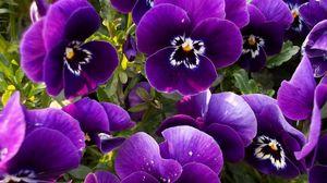 Превью обои анютины глазки, цветы, клумба, крупный план