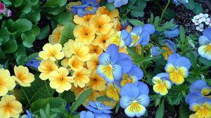 Превью обои анютины глазки, цветы, клумба, зелень, сад