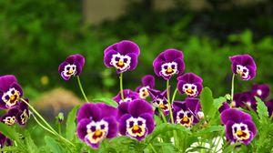 Превью обои анютины глазки, цветы, мордочки, трава, улыбки