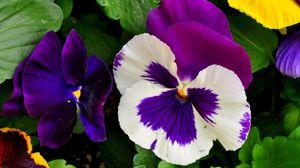 Превью обои анютины глазки, цветы, яркие, клумба, зелень, крупный план