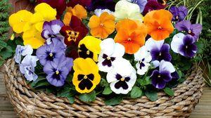 Превью обои анютины глазки, цветы, яркие, корзина