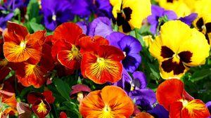 Превью обои анютины глазки, цветы, яркие, разноцветные