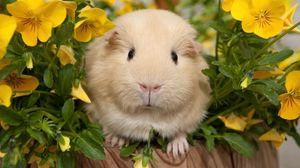 Превью обои анютины глазки, морская свинка, цветы