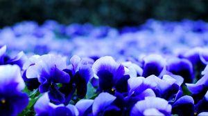 Превью обои анютины глазки, виола, цветы, лепестки