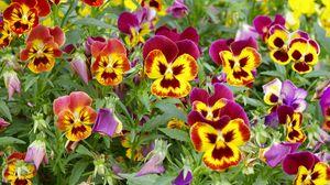 Превью обои анютины глазки, яркие, цветы, клумба, зелень