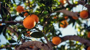 Превью обои апельсин, фрукт, дерево, ветка