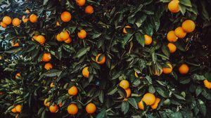 Превью обои апельсин, куст, плоды, растение