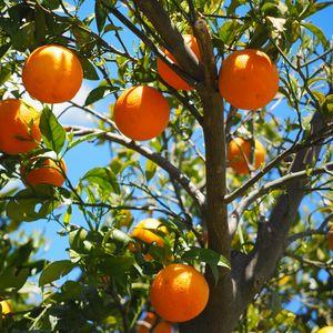 Превью обои апельсины, фрукты, апельсиновое дерево, цитрусы
