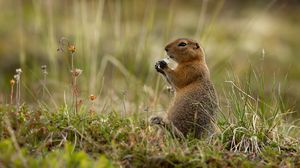 Превью обои арктический суслик, суслик, грызун, забавный, трава