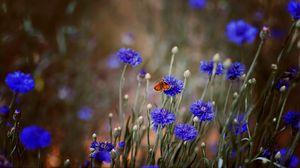 Превью обои бабочка, насекомое, васильки, цветы, макро