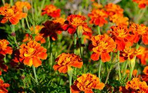 Превью обои бархатцы, цветы, оранжевый, яркий